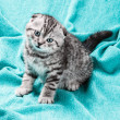 Stock Photo: Small Scottish fold kitten