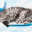Scottish fold kitten sitting on a blanket with clouds — Stock Photo