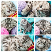 Set of images of a small Scottish Fold Kitten  — Stockfoto