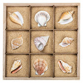 Seashell in a wooden box — Stock Photo