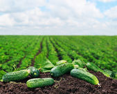 Freshly picked cucumbers on the ground  — Stock Photo