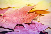 Fallen autumn maple leaves — Stock Photo