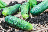 Freshly picked cucumbers — Stock Photo