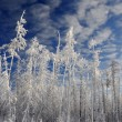 Winter forest background — Stock Photo #29554791