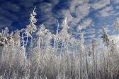 冬の森の背景 — ストック写真