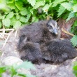 Baby birds of an eider in a nest — Stock Photo