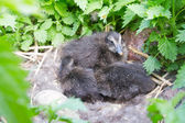 Baby birds of an eider in a nest — Foto de Stock