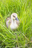 The goose sitting in a grass — Stock Photo