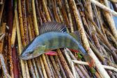 秋季鲈鱼 2 — 图库照片