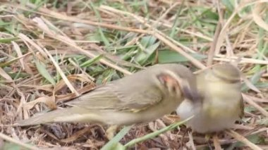 Two willow warblers and big butterfly — Stock Video