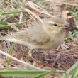 Stock Video: Successful hunting of willow warbler
