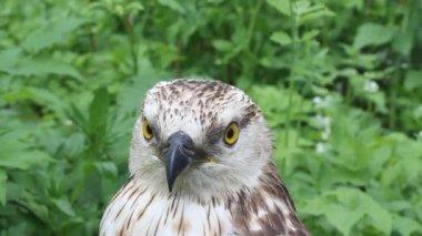 Rough-legged buzzard — Stockvideo