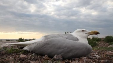 Seagull ill — Stock Video