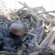 Stock Video: Baby birds of a cormorant