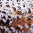 Plumage of a hazel grouse — Stock Photo