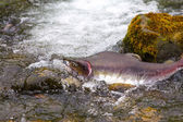 Humpback salmon — Stock Photo