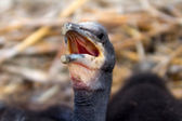 Chick of a cormorant — Stock Photo
