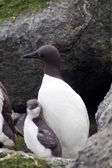 The Guillemot — Stock Photo