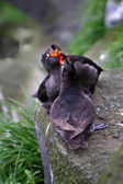 Crested Auklet team — Stock Photo