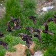 Crested Auklet flight — Foto Stock