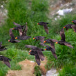Crested Auklet flight — Stockfoto