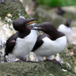 Stock Photo: Guillemot