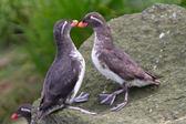 Parakeet Auklet: billing. — Stock Photo