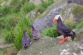 Commander islands birds — Stock Photo