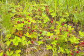 Wild strawberry thickets — Stock Photo