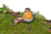 Robin (Erithacus rubecola) — Stock Photo