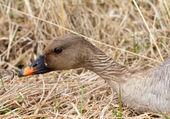 Bean goose Anser fabalis — Stockfoto