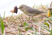 Successful hunting of willow warbler — Stock Photo