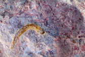 Invertebrate fossils — Stock Photo