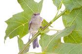 Bird on a maple (Black-cap) — Stock Photo