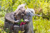 Hunting hazel grouse bird — Stock Photo