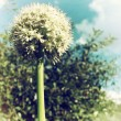 Faded Photo of Onion Flower — Stock Photo