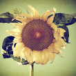 Vintage Photo of a Sunflower — Stock Photo