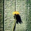 Vintage Photo of Dandelion - Stock Photo
