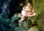 Foto vintage de murchar rosa — Fotografia Stock