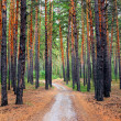 Path in the Pine Wood — Stock Photo