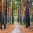 Path in the Pine Wood — Foto Stock