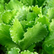 Fresh Lettuce Leafs — Stock Photo