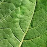 Green Leaf Macro — Stock Photo #40949249