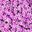 Stock Photo: Lilac phlox
