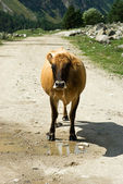 Cow at mountain road — Stock Photo