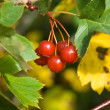 Ripe Hawthorn (Crataegus) berries - Stock Photo