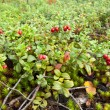 Cowberry — Stock Photo #13361545