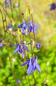Purple Aquilegia — Stock Photo