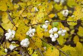 Symphoricarpos albus (Common snowberry) — Stock Photo