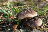 Sarcodon imbricatus (shingled hedgehog, scaly hedgehog) — Stock Photo